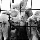 Протест на свинепроизводители от Локорско